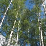 Процветай, наш лес! Школьники из Ляховичского района написали исследовательские работы на конкурс и победили